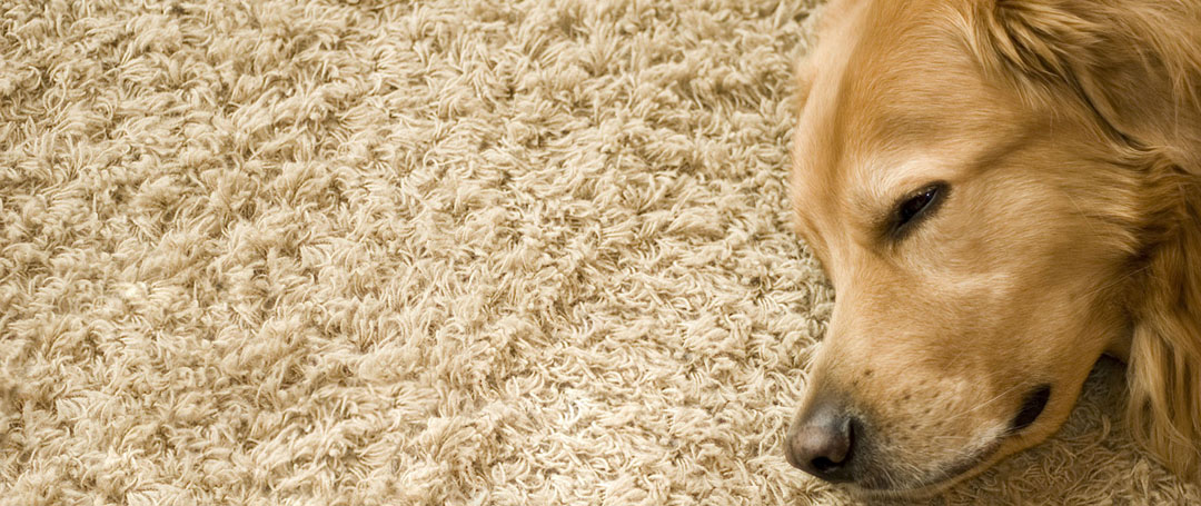 pet stain and odour removal mandurah